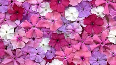 pink gardenias  tumblr, Beautiful flower