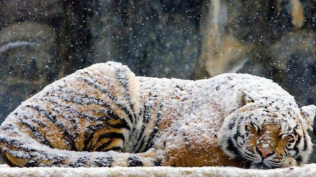 tygrys w śniegu