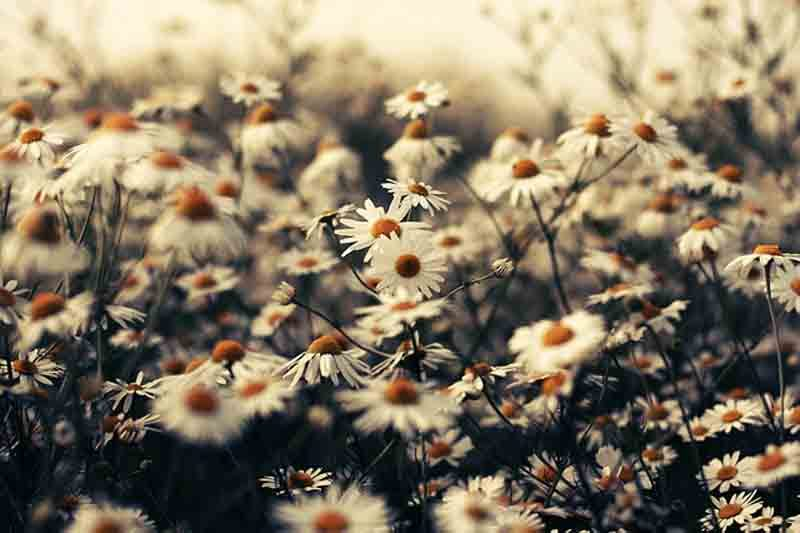White Daisies Tumblr Daisy Tumblr Theme Themes And