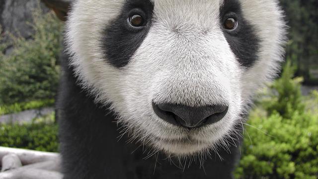 Cute panda tumblr themes - photo#54