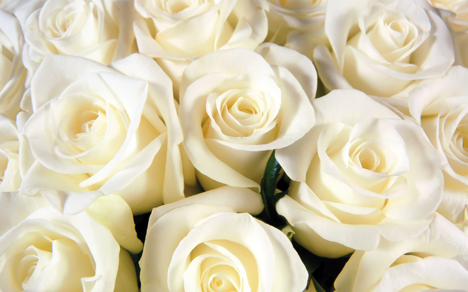 White Roses Tumblr Header