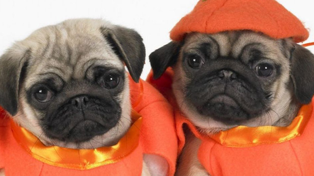 Pug Dress Dressed up Pugs