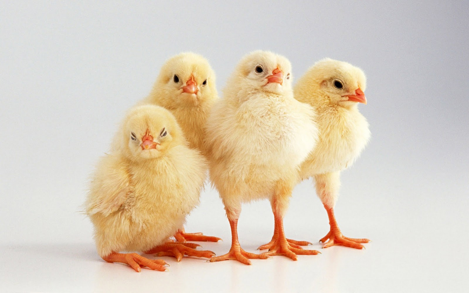 SO: You fucking asshole chickens should have been FRESH!