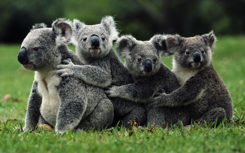 kool koalas  kool koala