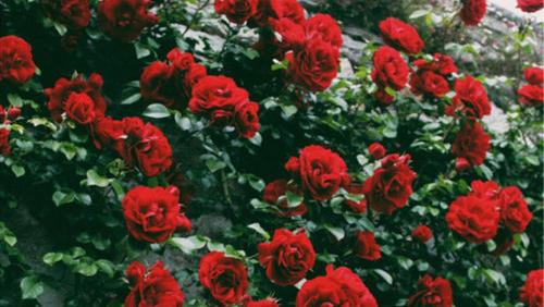 Znalezione obrazy dla zapytania rose tumblr