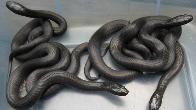 Black and brown snake with yellow stripe