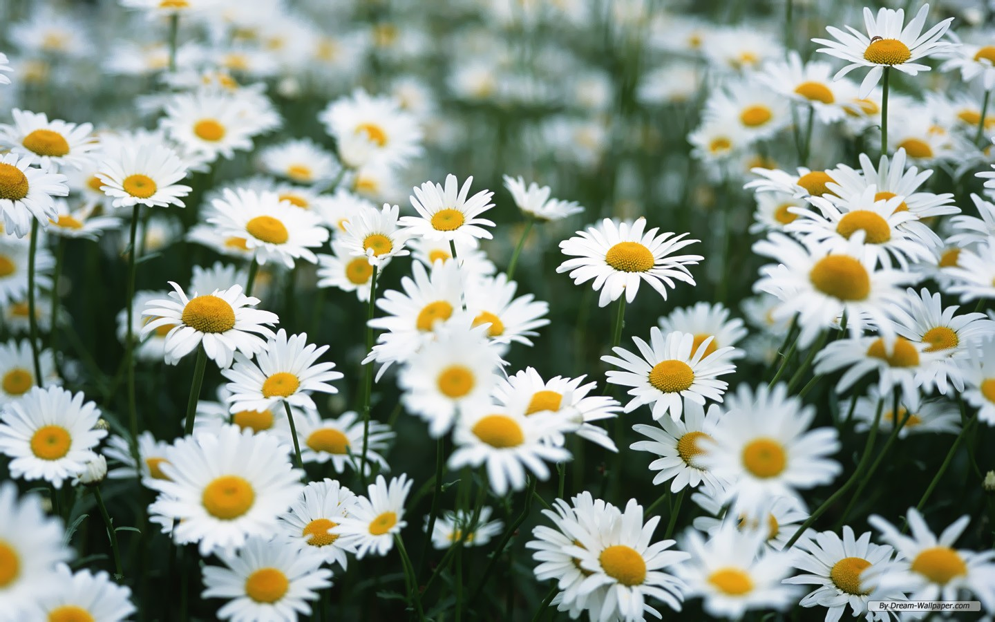 Daisy Flower Tumblr Amazing Wallpapers