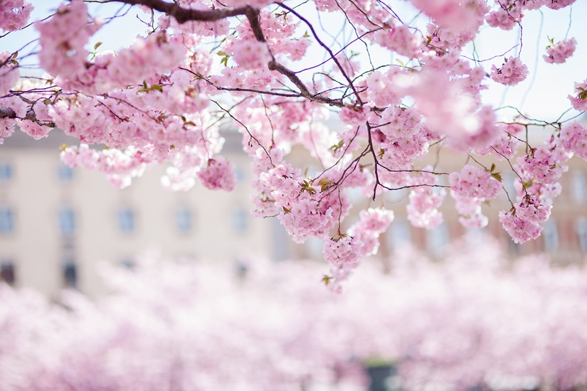 Pictures Of Cherry Blossom Tree Wallpaper Tumblr Rock Cafe